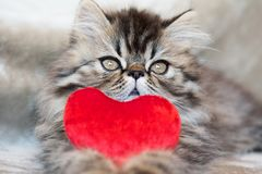 Beautiful Persian kitten cat with red heart royalty free stock photos