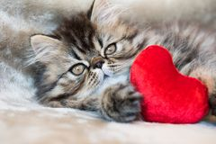 Beautiful Persian kitten cat with red heart royalty free stock images