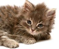 Beautiful persian little kitten Stock Photo