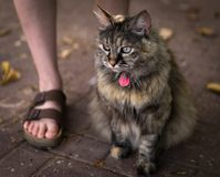 Beautiful cat sitting next to her owner royalty free stock image