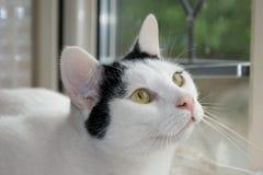 Cat gazing into owner`s eyes. Beautiful pet cat Poirot gazing lovingly into his owner`s eyes, whilst sunbathing on the windowsill Stock Images