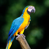 Beautiful Pet Parrot. Parrot blue yellow  white head Stock Images