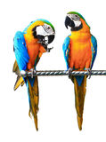 Beautiful Pet Parrot Royalty Free Stock Photos
