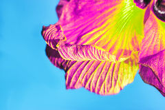 Beautiful petal on blue background. Royalty Free Stock Images