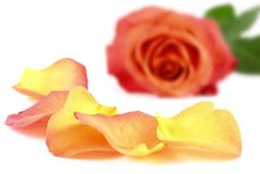 Beautiful petals in front of a rose Royalty Free Stock Photography