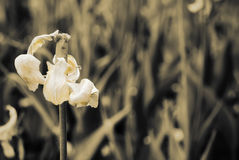 Free Beautiful Petals Of The Faded Tulip Royalty Free Stock Photos - 31603328
