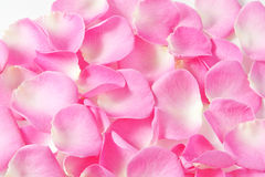 Beautiful petals of pink roses. On white Stock Photography