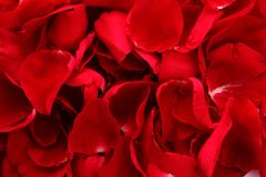 Beautiful petals of red roses Royalty Free Stock Images