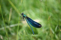 Beautiful petrol blue dragonfly insect Royalty Free Stock Image