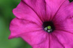 Beautiful Petunia bloom flower Petunia hybrida. On green garden background stock photography