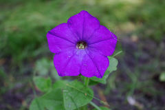 Beautiful Petunia. Flower blossomed in my garden Stock Photo
