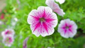 Petunia flower in the garden. Beautiful petunia flower in the garden stock footage