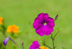 Beautiful petunia flower on a green background Royalty Free Stock Photo