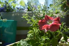 Beautiful petunia flower grow in pot in small urban garden on the balcony.  royalty free stock images