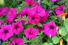Beautiful petunia flowers Royalty Free Stock Photography