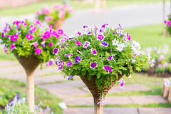 Beautiful petunia flowers Royalty Free Stock Photos
