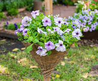 Beautiful petunia flowers Stock Images