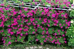 Beautiful petunia flowers close up Stock Photo