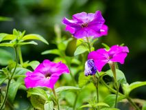 Beautiful petunia flowers in full bloom. Beautiful purple petunia flowers in full bloom stock image