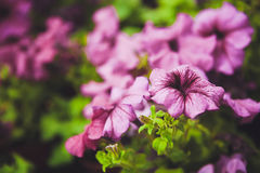 Beautiful petunia flowers in the garden Stock Photo