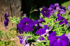 Beautiful petunia flowers in garden. Purple petunia and green leaf Stock Images