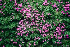 Beautiful petunia flowers in the garden in Spring time stock images
