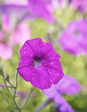 Beautiful petunia flowers on a green background Royalty Free Stock Images