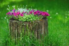 Beautiful Petunia flowers grow Stock Photos