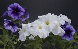 Beautiful petunia flowers in a pot against a dark background royalty free stock images