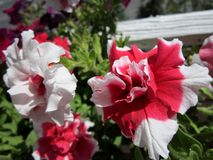 Beautiful petunia flowers with red and white petals. Balcony greening.  stock photo