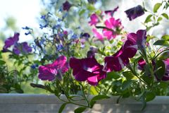 Beautiful petunia flowers in sunny summer day. Small garden on the balcony with blooming plants in flowerpot.  stock photo