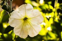 Beautiful petunia stock image