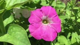 Beautiful petunia video stock footage