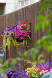 Hanging basket with violet petunia and busy lizy. Beautiful petunias and busy lizzy in the hanging basket on the fence royalty free stock photography