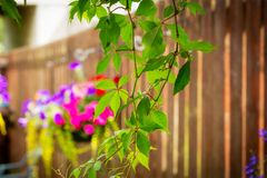 Hanging basket with violet petunia and busy lizy. Beautiful petunias and busy lizzy in the hanging basket on the fence Royalty Free Stock Photo