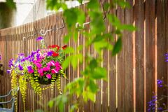 Hanging basket with violet petunia and busy lizy. Beautiful petunias and busy lizzy in the hanging basket on the fence stock image