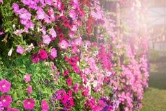 Beautiful Petunias colorful Flower. Beautiful colorful Flower Multi color Petunias Petunia hybrida in garden soft focus Stock Image