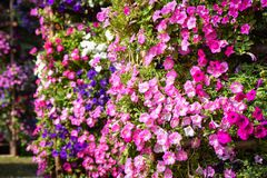 Beautiful Petunias colorful Flower Stock Photography