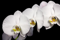 Beautiful Phalaenopsis Orchids Stock Photography