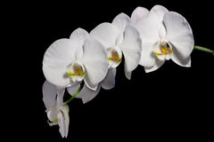 Beautiful Phalaenopsis Orchids Royalty Free Stock Image