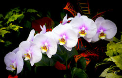 Beautiful phalaenopsis orchids Royalty Free Stock Photos