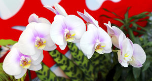 Beautiful phalaenopsis orchids Stock Photography