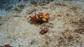 Beautiful Pharaoh Cuttlefish on a colorful tropical coral reef royalty free stock photography