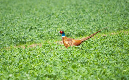 Beautiful pheasant Royalty Free Stock Photo
