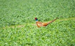 Beautiful pheasant Royalty Free Stock Photo