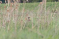 Pheasant in the field stock photo