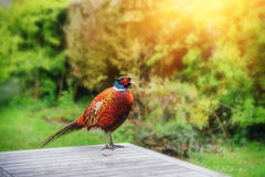 Beautiful pheasant seating on garden table. Nature background Stock Image