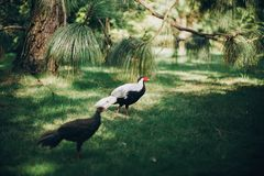 Beautiful pheasants walking in sunny botanical garden, on Borromean Islands on Lago Maggiore, Stresa city, Italy. White pheasant. Bird with red head and brown royalty free stock image