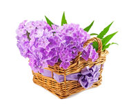 Beautiful phlox. In the basket Royalty Free Stock Photography