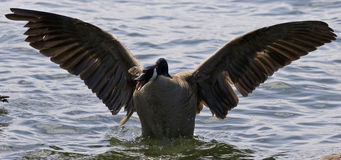 Beautiful  photo of an angry Canada goose with the opened wings Royalty Free Stock Photography